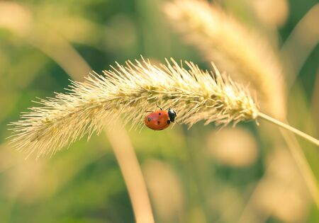 ladybug on the yellow blade of grass
