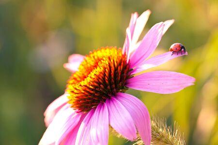 echinacea purpurea: Coccinella su fiore Echinacea purpurea