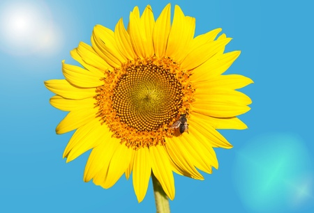 sunflower and a bee on a background of blue sky and sun photo