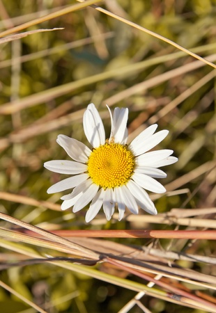 chamomile on the yellow grass background photo