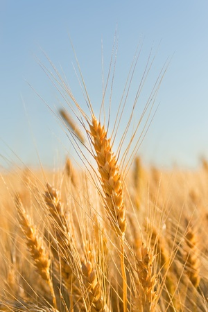 gold ears of wheat under sky. soft focus on field