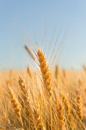 espiga de trigo: oro espigas de trigo en el cielo. Desenfoque de campo Foto de archivo