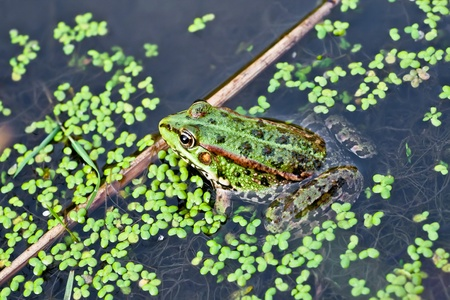 Photo frog in the water with duckweed photo