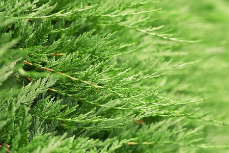 detailed shot: Detailed shot of a cypress