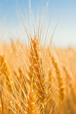 gold ears of wheat under sky. soft focus on field Stock Photo - 8879355