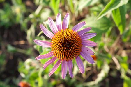 dicot: Echinacea viola. Echinacea.