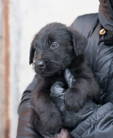Giant Schnauzer is a small puppy in her arms photo
