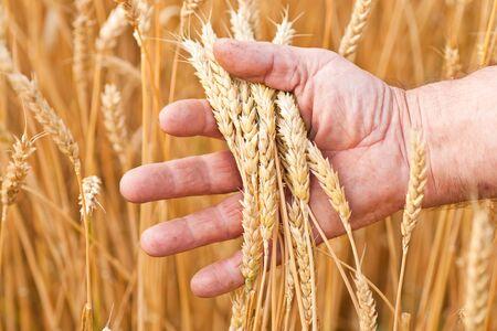 Ripe golden wheat ears in her hand the farmer photo