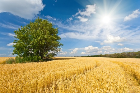 alone tree in wheat field over cloudy blue sky Stock Photo - 10129652