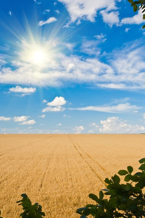 Ripe wheat field and blue sky with clouds photo