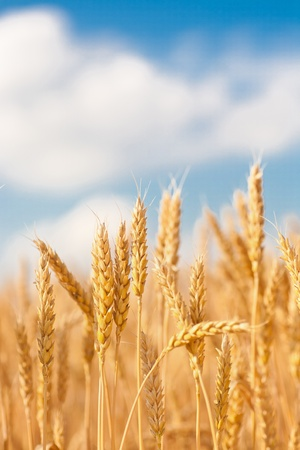gold ears of wheat under sky. soft focus on field photo