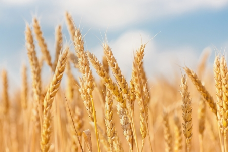 healthy grains: gold ears of wheat under sky. soft focus on field