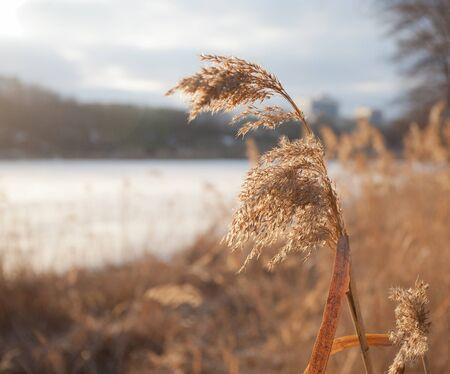beautiful branch of reeds on Lake Winter photo