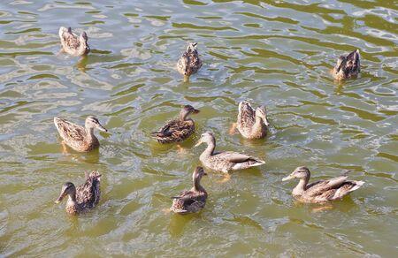 ducks in water of lake swimming and feeding photo