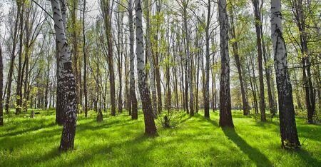birch bark: Large green Birch Trees Forest in summer.