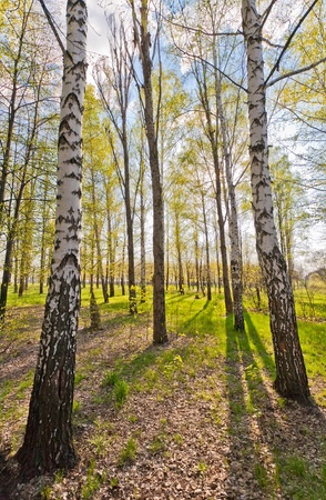 Large green Birch Trees Forest in summer. photo