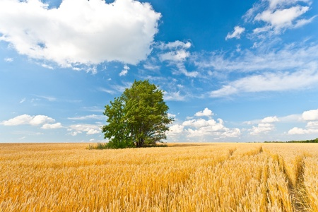 alone tree in wheat field over cloudy blue sky photo