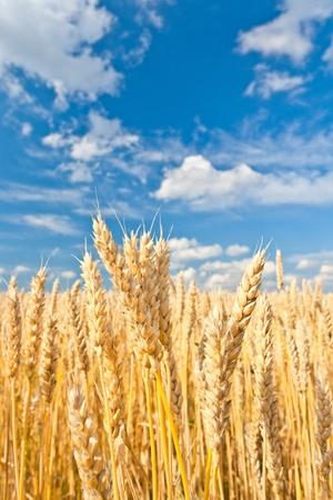 gold ears of wheat under sky. soft focus on field Фото со стока - 13824023