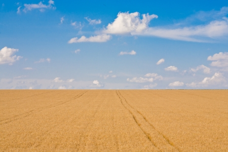 Ripe wheat field and blue sky with clouds Stock Photo - 13824086