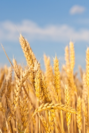 gold ears of wheat under sky. soft focus on field Stock Photo - 13824044