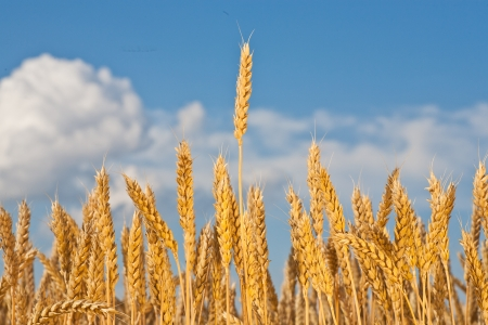 gold ears of wheat under sky. soft focus on field Stock Photo - 13824092