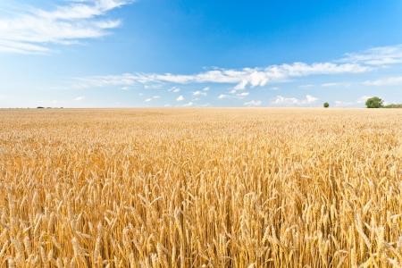 cosecha de trigo: Campo de trigo maduro y el cielo azul con nubes Foto de archivo