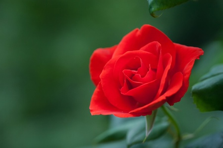 Red Rose on the Branch in the Garden photo