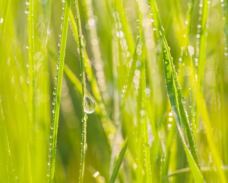 Fresh morning dew on spring grass, natural background - close up with shallow DOF  photo