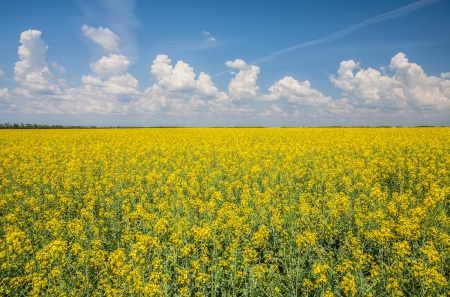 flower of oil rapeseed in field with blue sky and clouds