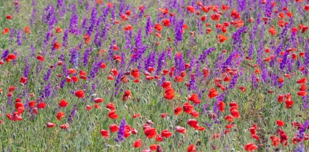 Summer field with beautiful red poppy and purple flowers (nature background). photo
