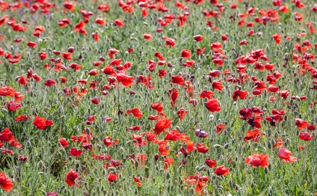Poppy field with flowering red poppies (Papaver rhoeas) photo