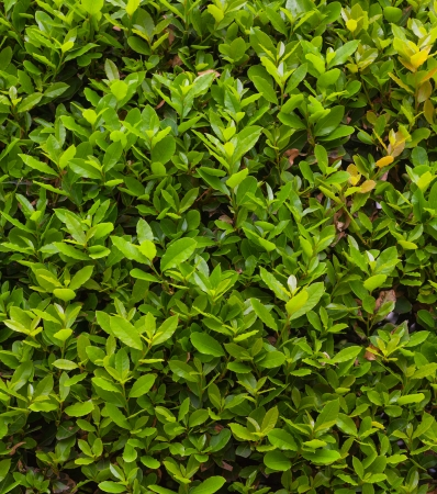 green box hedge background with green leaves photo