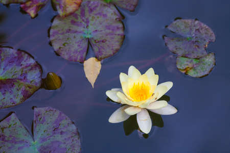 yellow water lily with lotus leaf on pond photo