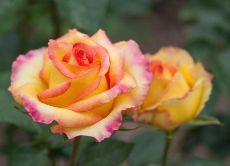 Quelques roses oranges jaunes dans le jardin Banque d'images - 17508443