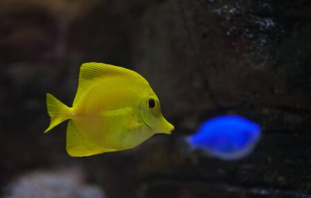 Beautiful zebrasoma salt water aquarium fish Stock Photo - 17794674