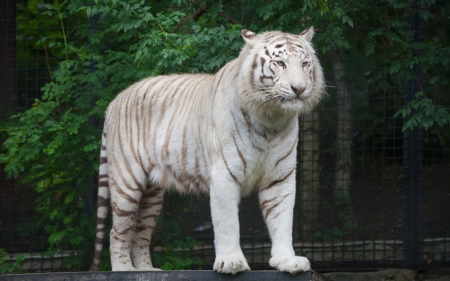 recessive: White Bengal Tiger. The white tiger is a recessive mutant of the Bengal tiger
