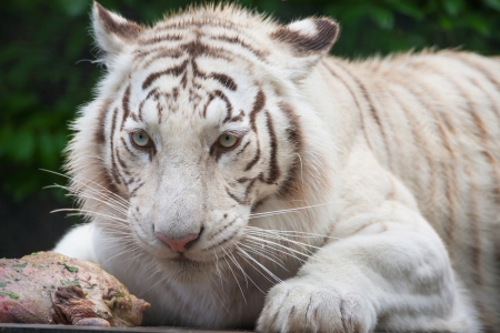 White Bengal Tiger. The white tiger is a recessive mutant of the Bengal tiger photo
