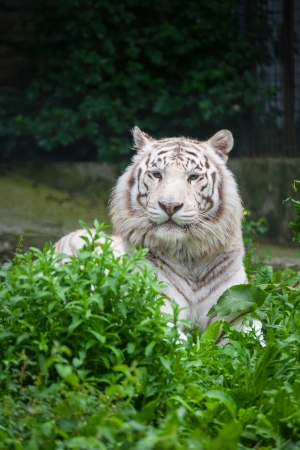 White Bengal Tiger. The white tiger is a recessive mutant of the Bengal tiger Stock Photo - 17794743