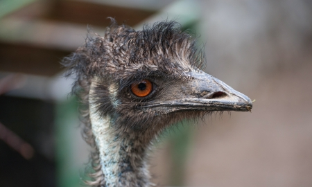 curiousness: Portrait of an ostrich with a humorous expression Stock Photo