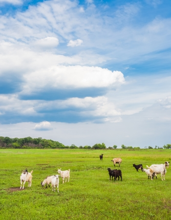 are grazed: sheep and goats grazed on a spring meadow