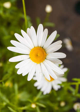 closeup of a perfect single daisy against a green background photo