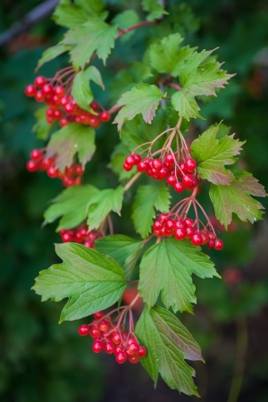 bunchy: red berries of the viburnum on branch
