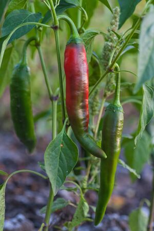 Fresh red chillies growing in the vegetable garden Stock Photo - 18510416