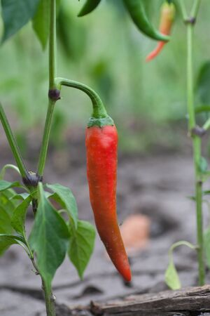 Fresh red chillies growing in the vegetable garden Stock Photo - 18510452