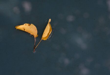 Yellow maple leaf to swim on the water photo