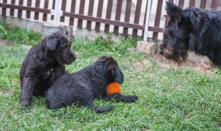 standard schnauzer puppies child in the garden photo