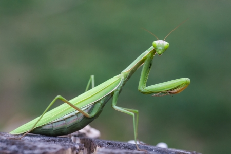 green  praying mantis on flower   Mantis religiosa photo