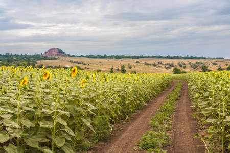 Summer landscape with a field of sunflowers, a dirt road and a tree photo