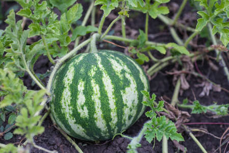 Fresh green Watermelon in a vegetable garden photo