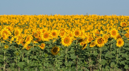 summer sunflower field over cloudy blue sky photo